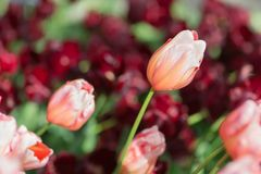 红色和带淡红色的橙色郁金香在公园 选择聚焦 免版税库存照片