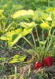 红色和成熟草莓在庭院里 库存照片