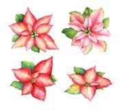 红色和桃红色一品红的水彩例证开花 库存例证