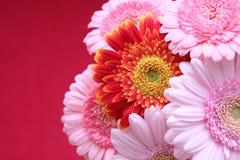 红色和桃红色向日葵 免版税库存照片