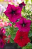红色和桃红色喇叭花。 免版税库存照片