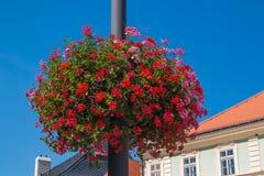红色和桃红色大竺葵在Kutna hora的历史的中心 免版税库存照片