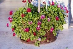 红色和桃红色开花的大竺葵在罐开花 免版税库存图片