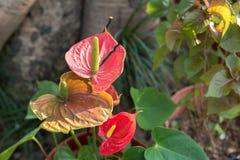 红色和桃红色彩斑芋绿色背景 库存图片