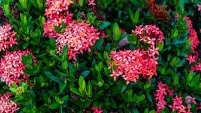 红色和桃红色泰国Ixora花宏观射击与绿色叶子的在庭院里 免版税库存图片