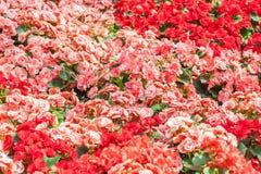 红色和桃红色玫瑰花盖子  免版税库存照片