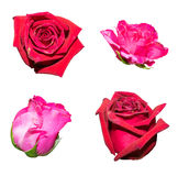 红色和桃红色玫瑰 库存照片