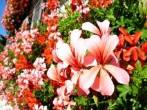 红色和桃红色花 免版税库存照片