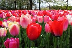 红色和桃红色郁金香作为背景照片 免版税库存照片