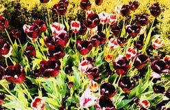 洋红色和桃红色郁金香领域 库存图片