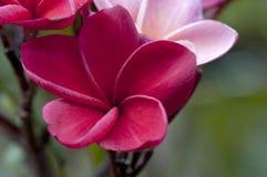 红色和桃红色Plumaria花 库存照片