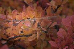 红色和桔子叶子和蜘蛛网的宏观图片与蜘蛛从顶视图 在秋天拍的照片 免版税库存照片