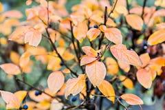 红色和桔子在秋天背景灌木离开 库存照片