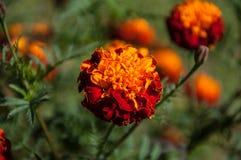 红色和橙色万寿菊 免版税库存图片