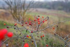 红色和橙色在秋天的狗玫瑰丛 免版税库存照片