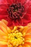 红色和橙色大丽花开花特写镜头 库存图片