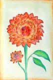 红色和橙色大丽花美好的原始的绘画开花 图库摄影
