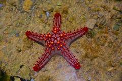 红色和橙色星鱼 库存图片