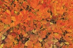 红色和橙色湿秋叶背景 免版税库存照片
