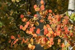 红色和橙色白杨木叶子 免版税库存照片