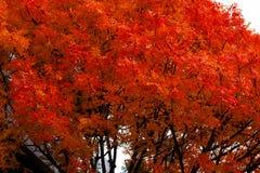 红色和橙色秋天树 免版税库存图片