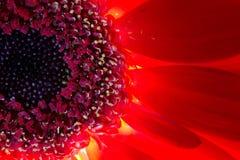 红色和橙色菊花花和被突出的雄芯花蕊 库存照片
