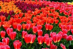 红色和橙色郁金香在显示庭院里 免版税图库摄影