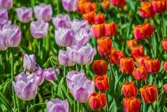 红色和淡紫色郁金香 库存照片