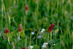 绯红色和白三叶草背景 库存照片