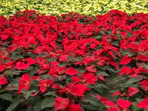 红色和白色一品红圣诞节花 图库摄影