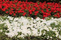 红色和白色加拿大日150花卉展示 库存照片
