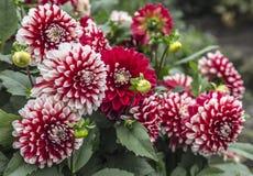 红色和白色大丽花的布什 免版税图库摄影