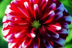 红色和白色对称花 图库摄影