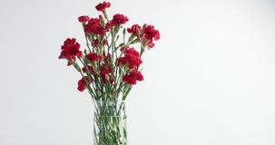 红色和白色康乃馨花自转 股票录像