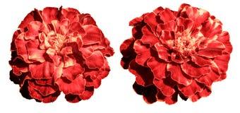红色和白色异乎寻常的被隔绝的花四季不断的翠菊 免版税图库摄影