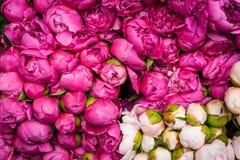 红色和白色未打开的玫瑰花蕾 免版税图库摄影