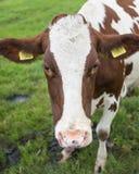 红色和白色母牛头在绿色草甸 库存照片