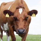 红色和白色母牛特写镜头在绿色象草的荷兰草甸 免版税图库摄影