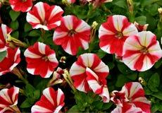 红色和白色波浪喇叭花,薄荷 库存图片
