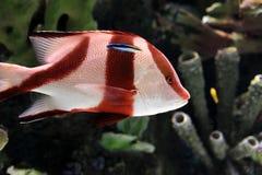 红色和白色热带镶边鱼 免版税库存照片