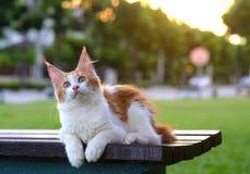 红色和白色猫画象想知道和坐一把木椅子在绿色庭院里 坐在庭院里的巨型小猫 免版税库存图片