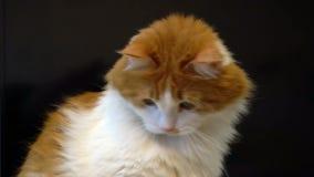 红色和白色猫面孔关闭 股票录像