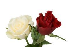 红色和白色玫瑰 免版税库存图片