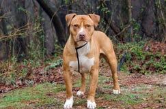红色和白色美国人斯塔福德郡杂种犬 免版税库存图片