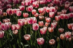红色和白色色的郁金香的混合 免版税库存照片
