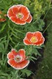 红色和白色虞美人-罂粟属rhoeas 库存照片