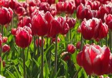 红色和白色郁金香群 免版税库存照片