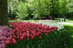 红色和白色郁金香花床在树树荫下在的 免版税库存照片