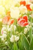 红色和白色郁金香花 免版税库存照片