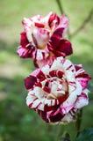 红色和白色镶边玫瑰 免版税库存照片